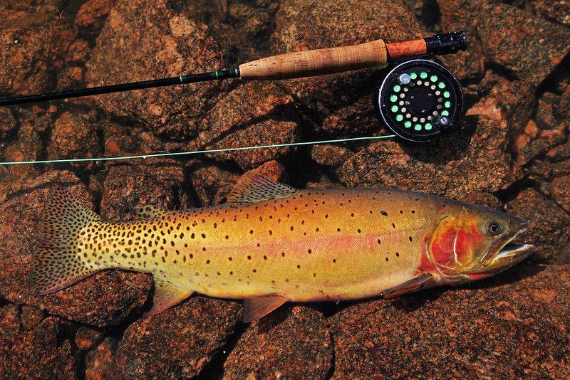 Cutthroat trout from a high alpine lake in Colorado