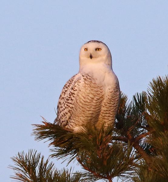 snowy owl 2020 6.jpg