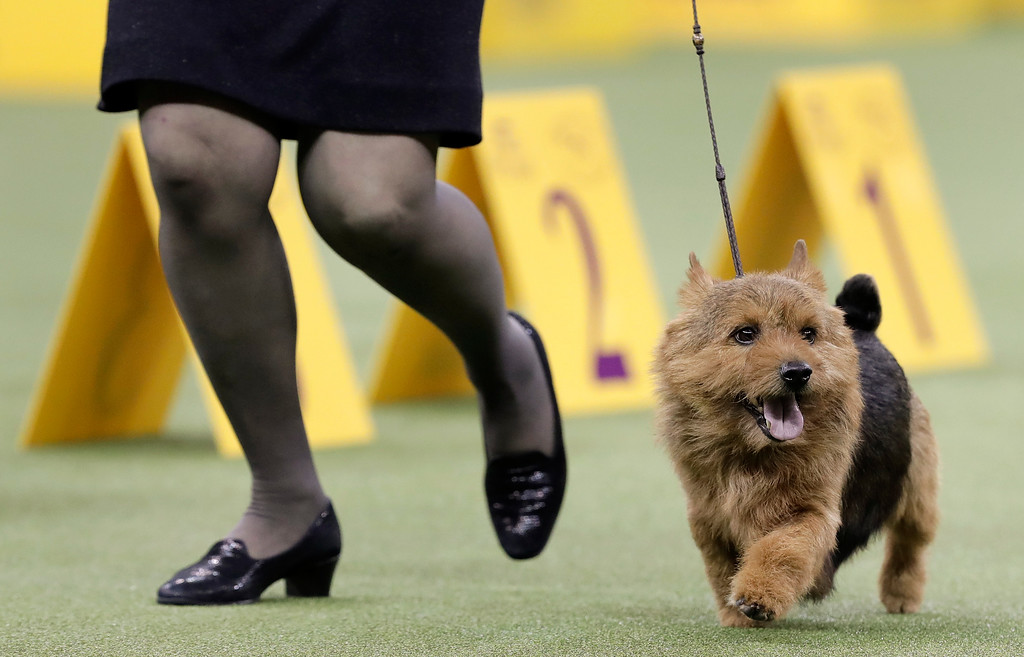 . Tanner, a Norwich terrier, jogs through the ring during the terrier group competition at the 141st Westminster Kennel Club Dog Show, Tuesday, Feb. 14, 2017, in New York. (AP Photo/Julie Jacobson)