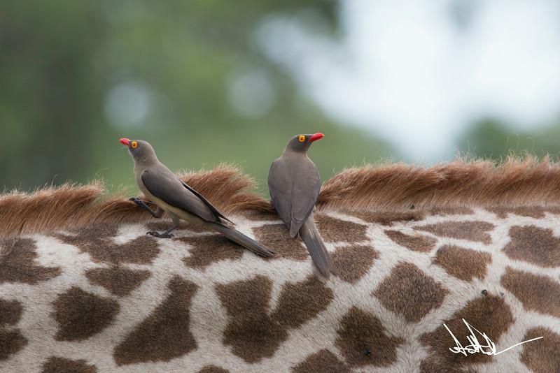 Giraffes-4.jpg
