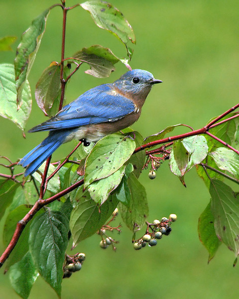 bluebird_fledgling_1559.jpg