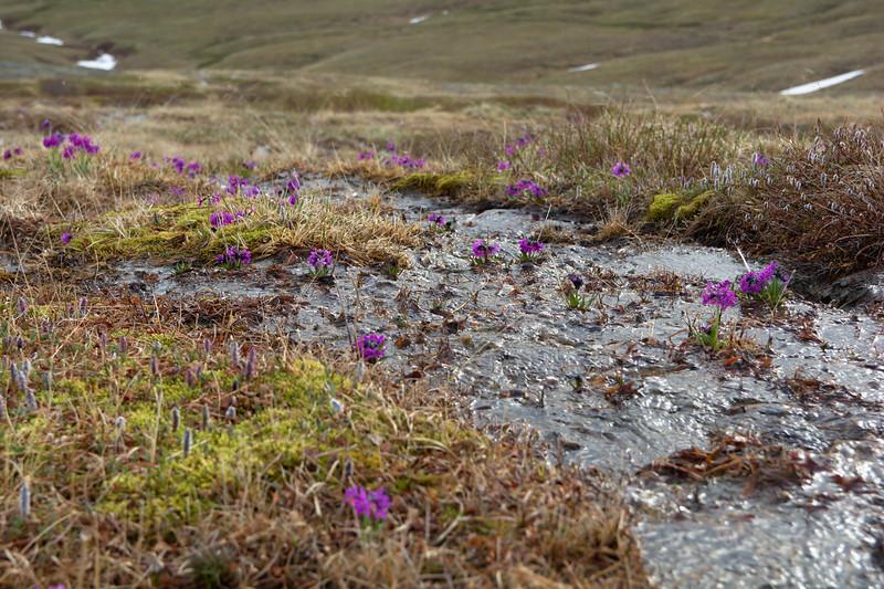 Arctic Primrose in a Stream