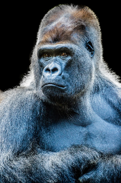 Gorilla with sad facial expression