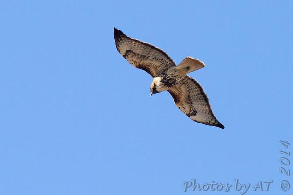 2014-01-19 Riverlands Migratory Bird Sanctuary