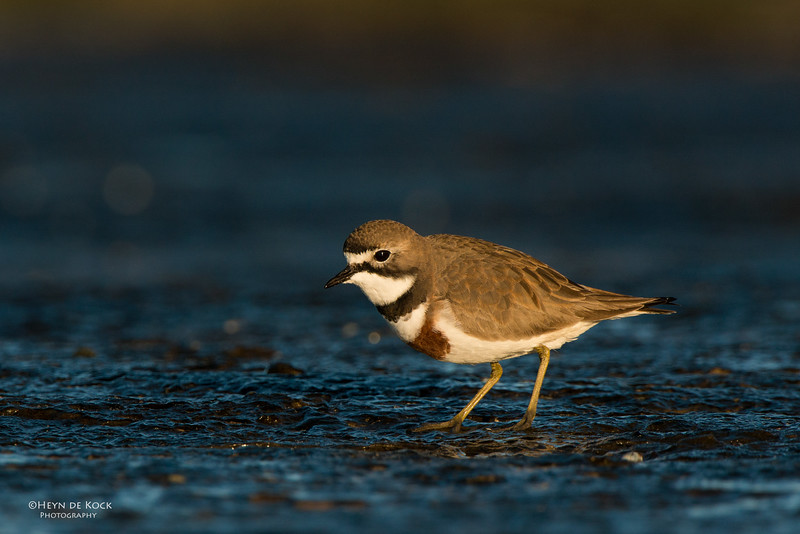 Double-banded Plover, Ulladulla, NSW, Aug 2014-8.jpg