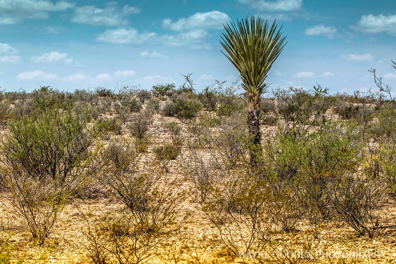 desertyucca2-1.jpg