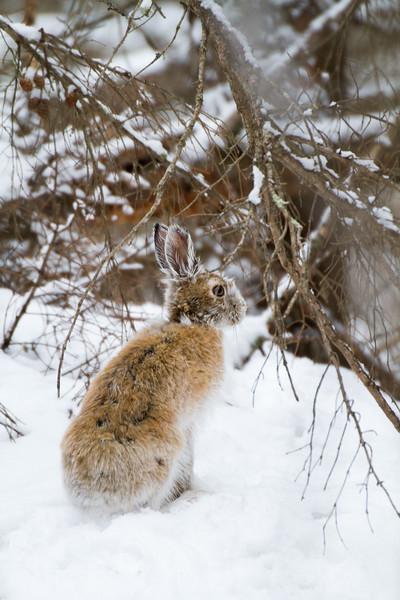 Snowshoe Hare Warren Nelson Memorial Bog Sax-Zim Bog MNIMG_0738.jpg