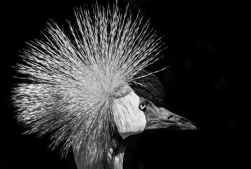 East African Crane-Edit.jpg