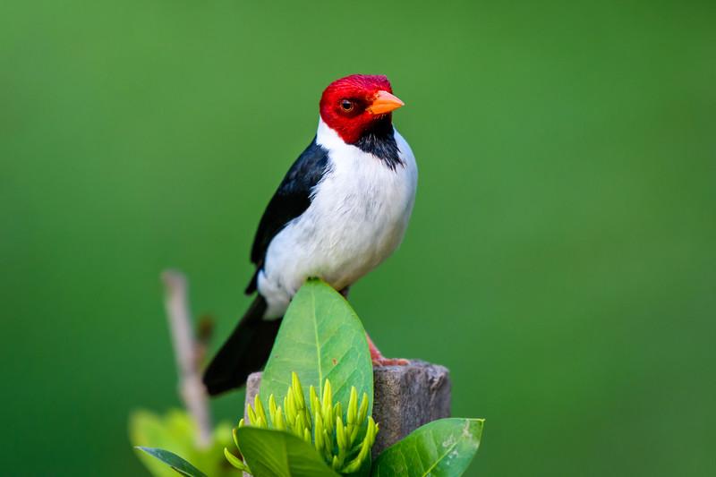 Yellow-billed Cardinal.jpg