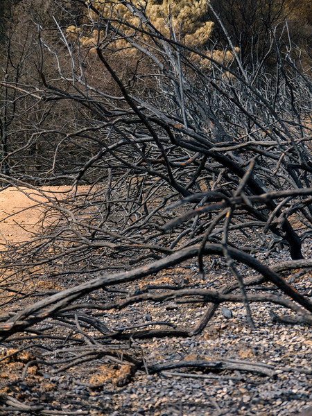 The remains of a row of manzinita trees along a fire road in the Morgan Fire burn area.