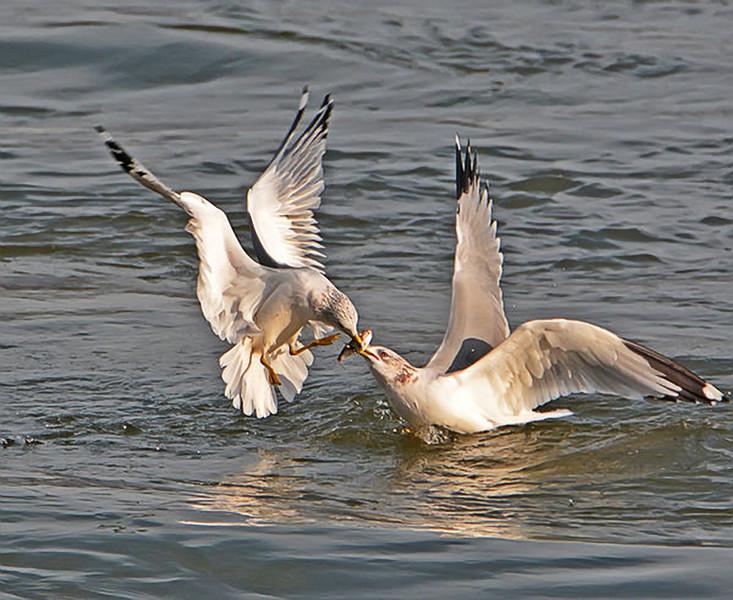 Seagull Fight.jpg