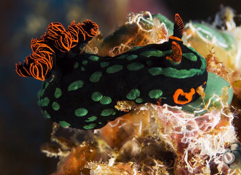 nudibranch nembrotha kubaryana.jpg
