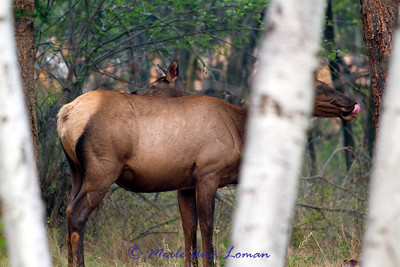 Elk cow and calf in September