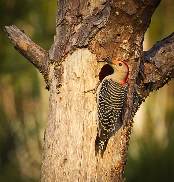 20160305-_L8E3441Woodpecker Watson Nature Preserve.jpg
