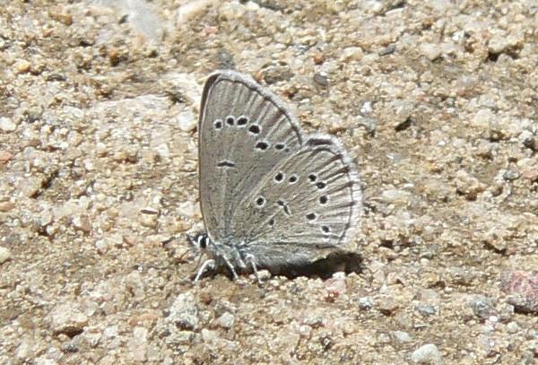 543SilveryBlue July 3, 2010 - 12:00 noon P1060543 Silvery Blue, Glaucopsyche lygdamus, on Rd 253 off of 55 1.25 mi SE of Cottonwood Pass.