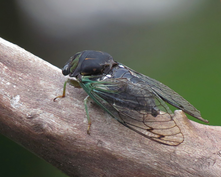 sx50_cicada_1056.jpg