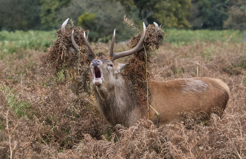 Red Deer stag bellowing dressed in his best outfit.