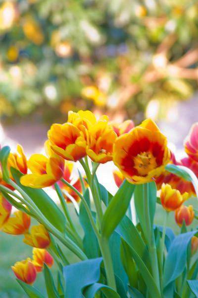 Tulips outdoor_16.jpg