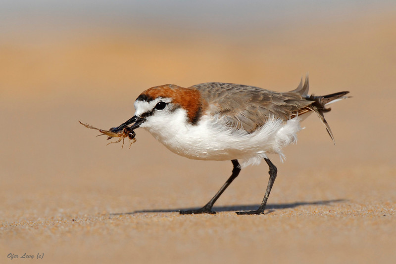 Red capped Plover 6.jpg