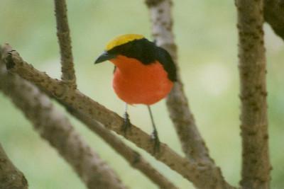 Yellow-crowned Gonolek