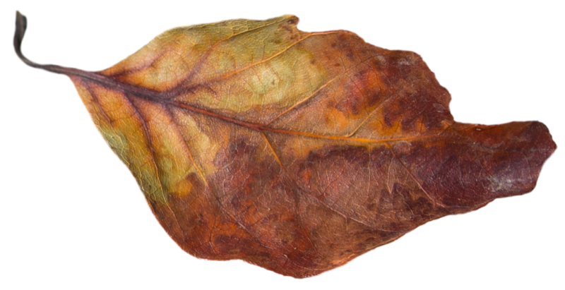 Leaf 36.png