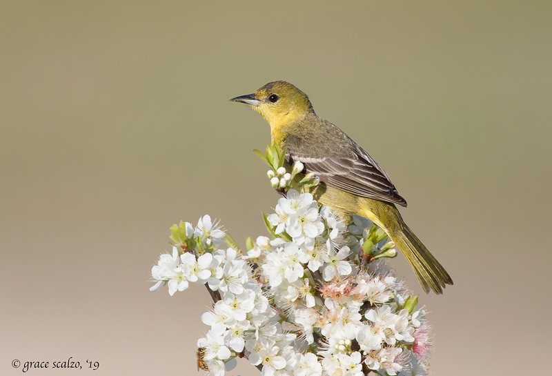 Orchard Oriole (and Bee) on Blossoms