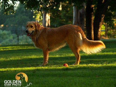 Molly Mae - Golden Retriever