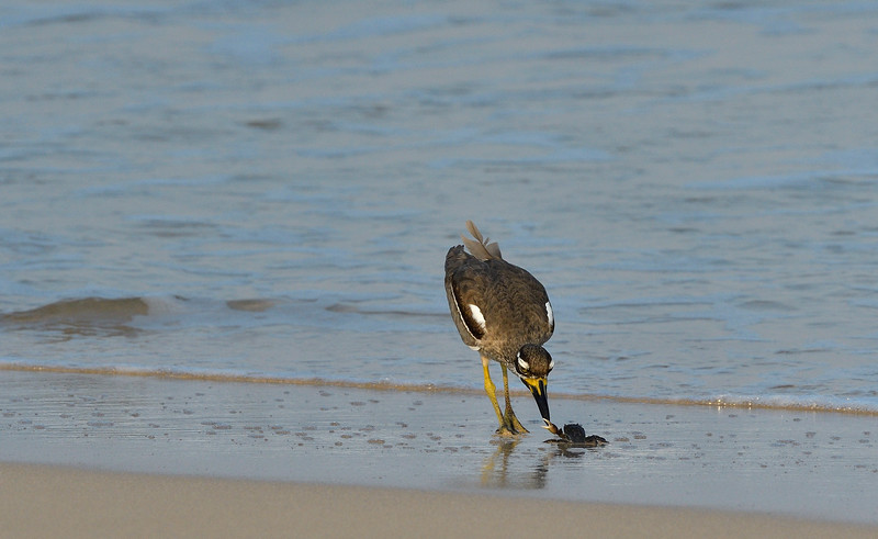 Beach-Thick-knee-with-crab-little-andaman-3.jpg