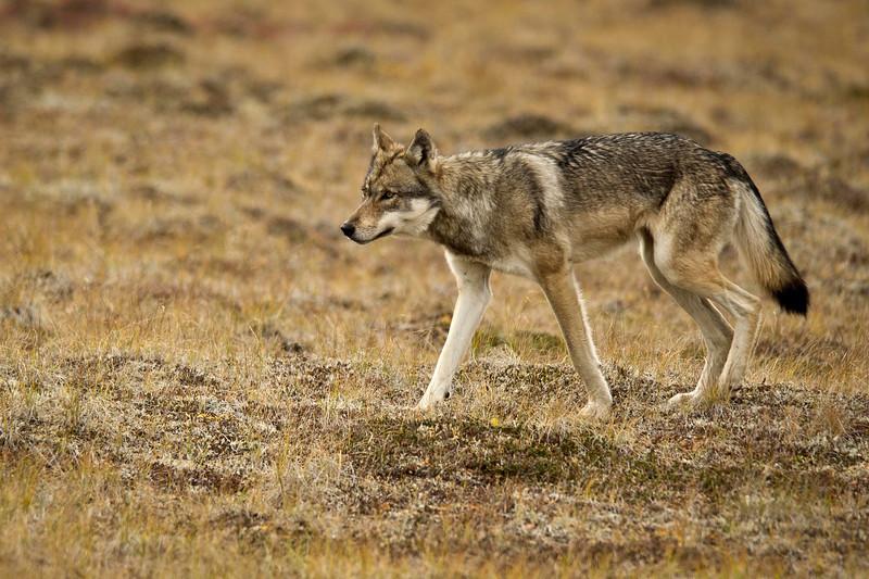 Denali Wolf Denali National Park Alaska © 2012