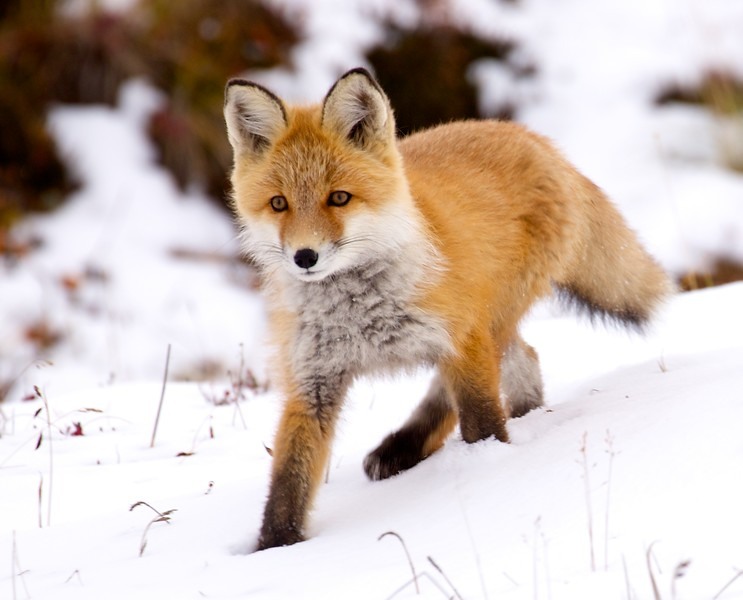 Toolik-Fox-in-snow-reprocessed 1787.jpg