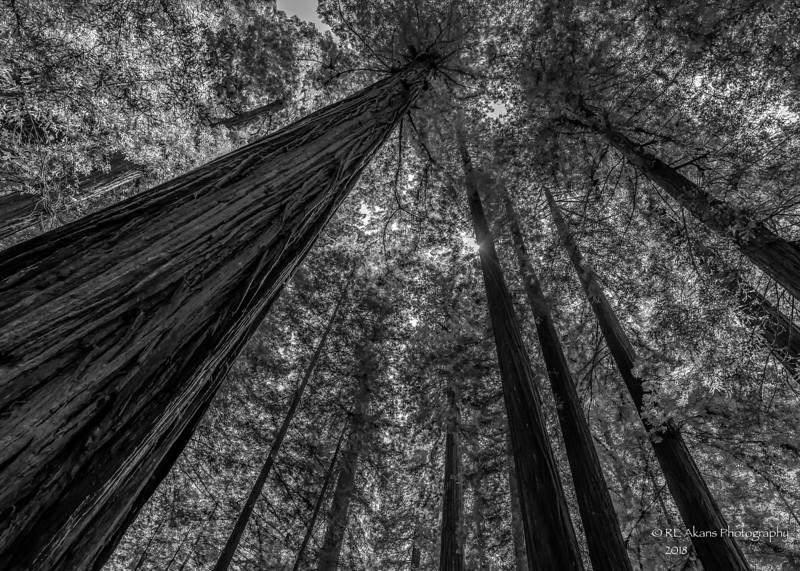 Founders Grove Redwoods 3750 HDR BW-1.jpg