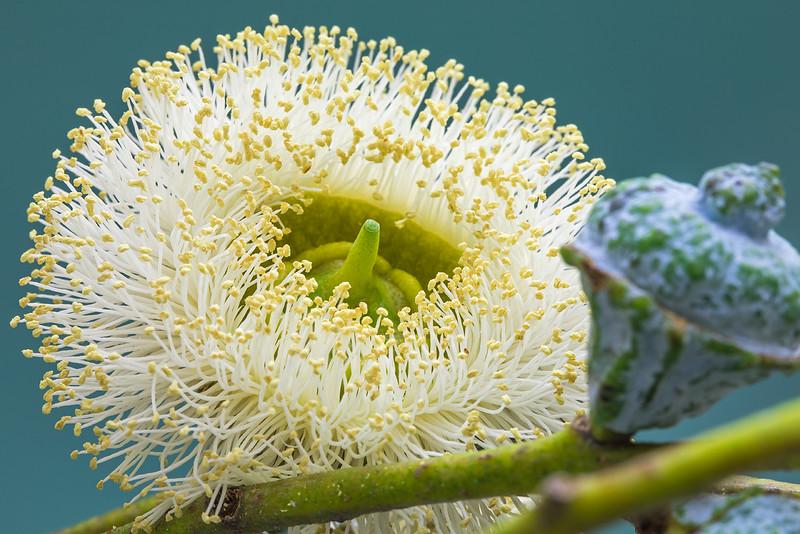 eucalyptus-02.jpg
