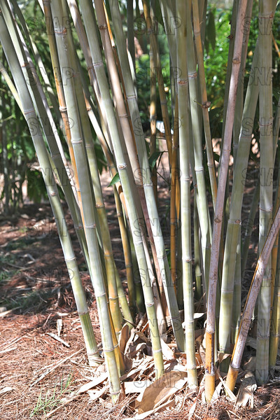Angel Mist Bamboo; Anglemist Bamboo; Ghost Bamboo (Dendrocalamus minor 'Amoenus'); is a very rare giant tropical clumping bamboo from Southern China; at the Jacksonville Zoo and Gardens.