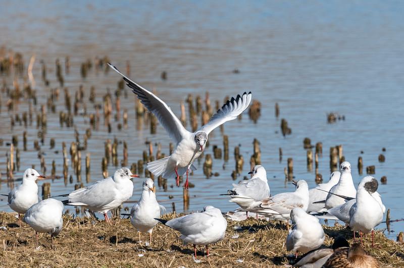 Gull landing-51.jpg