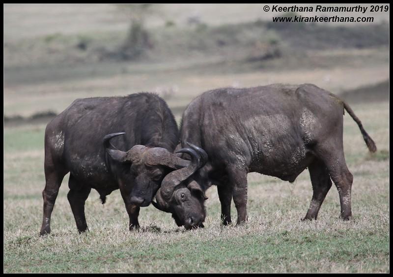 African Cape Buffalo, Ngorongoro Crater, Ngorongoro Conservation Area, Tanzania, November 2019