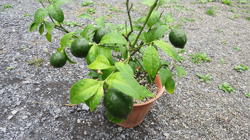 Limes-May-19th.jpg