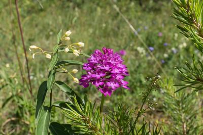 Orchidaceae Orkidéer