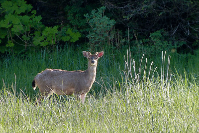 Sitka Black-Tailed Deer  in the Evening Light June 2014, Cynthia Meyer, Chichagof Island, Alaska