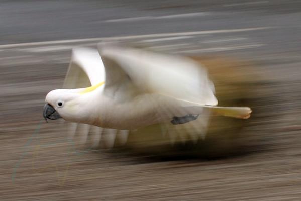 Avians