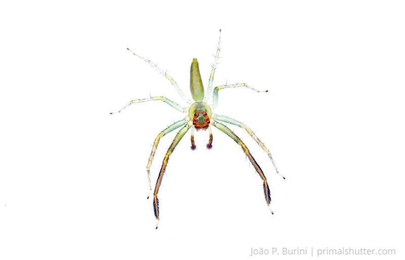 Jumping spider (Lyssomanes species) Ribeirão Grande, Brazil Tropical rainforest (Atlantic forest) October 2012