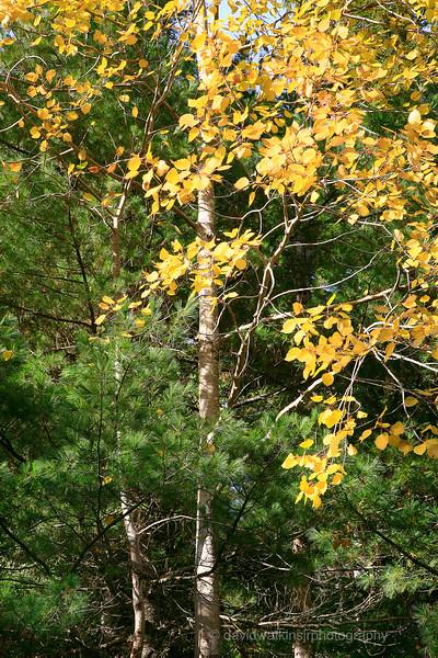 Fall Tree Trio 1.jpg