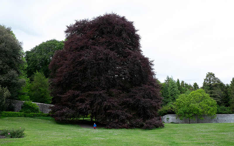 The Signing Tree at Coole Park and Garden.