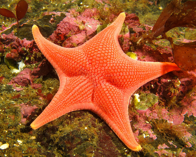 Vermilion Star, Mediaster aequalis,  taken at Pulali Pt. South wall, Hood Canal