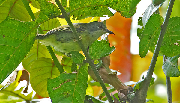 Anthreptes simplex - Plain Sunbird