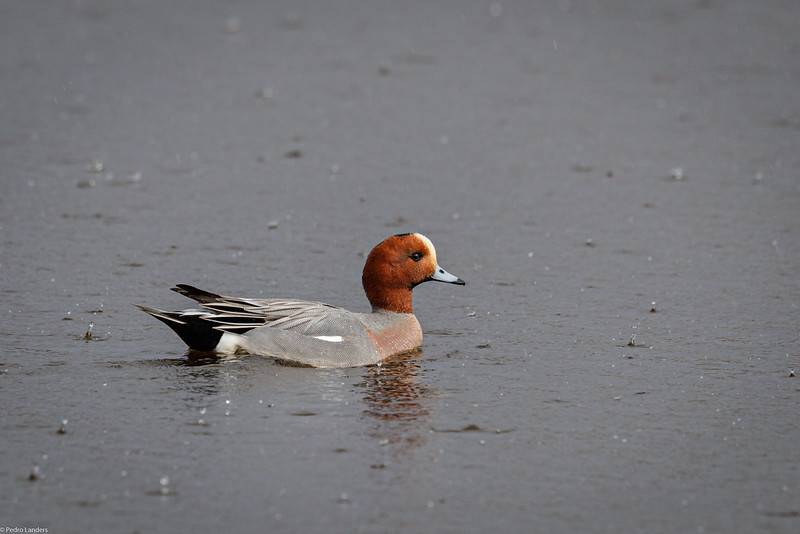 Rain, Sun and Wigeon