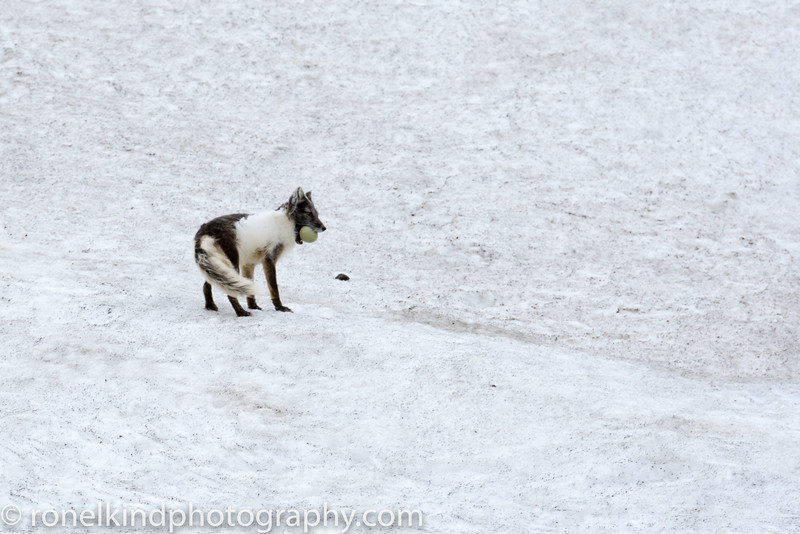 Arctic Fox taking stolen egg back to her young.