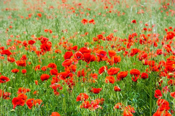 Weed Poppy Field near Halle, Germany