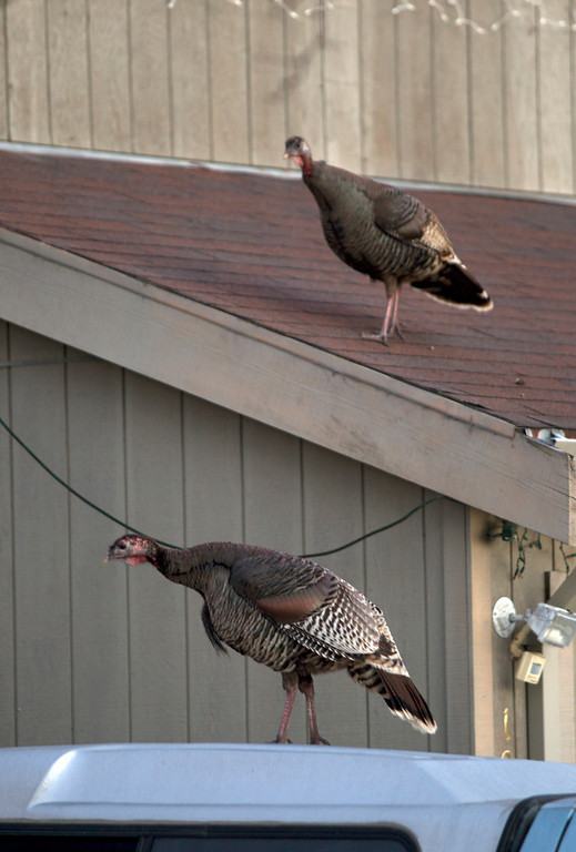 . Wild turkeys perch on cars and rooves along Cornell Avenue, Sunday, Feb. 24, 2013 in Albany, Calif. Neighbors are requesting that the city do something about the birds, a flock of which have taken up residence in an area tree. (D. Ross Cameron/Staff)