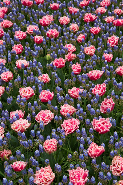 large carpet of blue and pink flowers.jpg