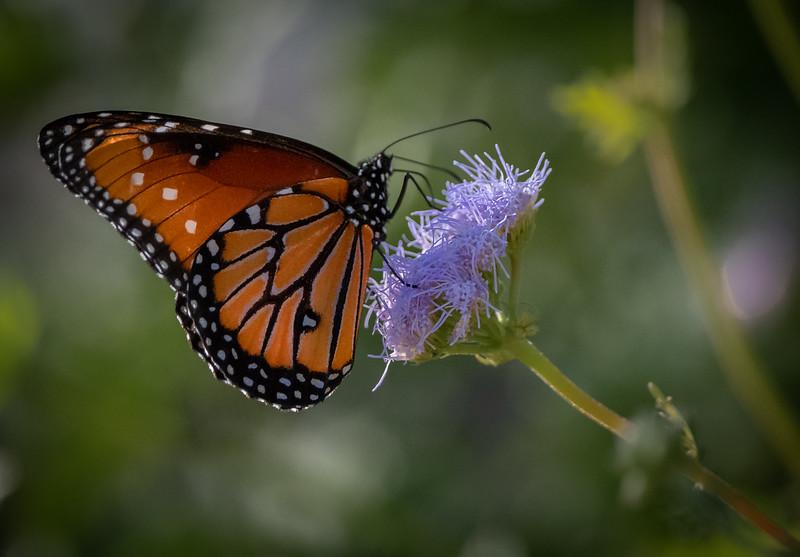 Queen (Danaus gilippus) Butterfly